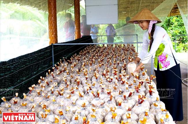 Những cây nấm Linh chi được trồng để phục vụ du khách.
