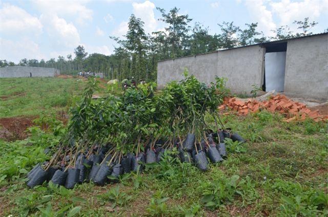 Người dân mua cây về tập kết chuẩn bị mang đi trồng