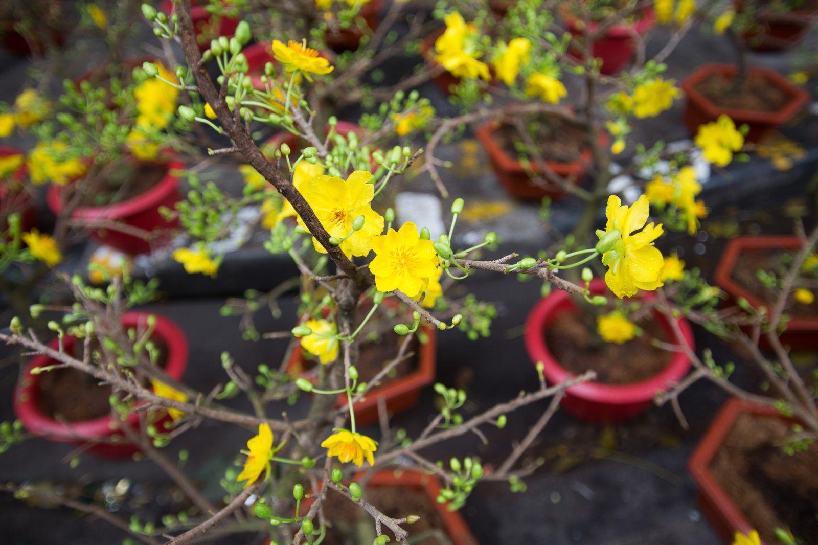 Các loại hoa mai trắng, vàng được bày bán khá nhiều tại chợ hoa Hàng Lược có giá từ vài trăm nghìn cho đến vài triệu đồng tùy loại.