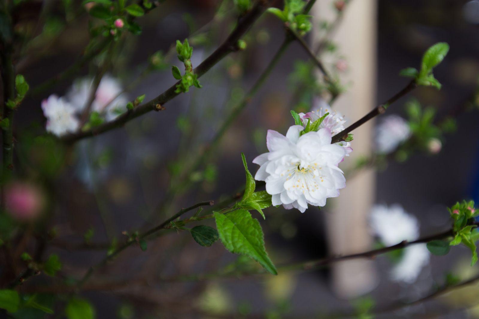 Hoa mai trắng.