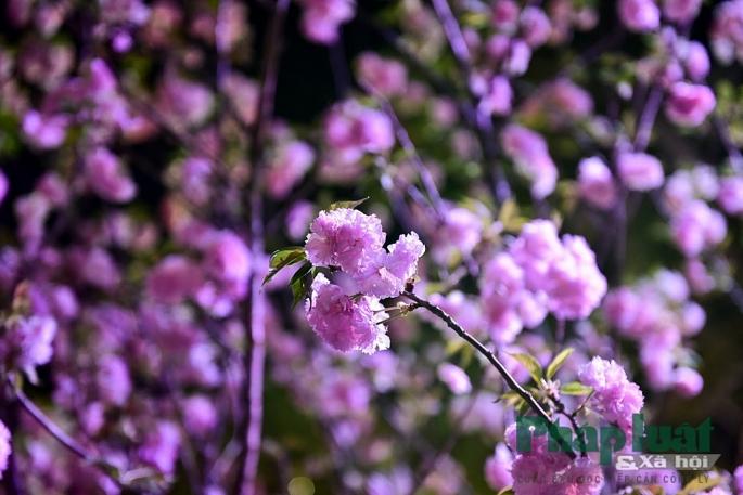 Là loài hoa biểu trưng cho Nhật Bản, hoa anh đào luôn là điểm nhấn chính trong mỗi mùa lễ hội.
