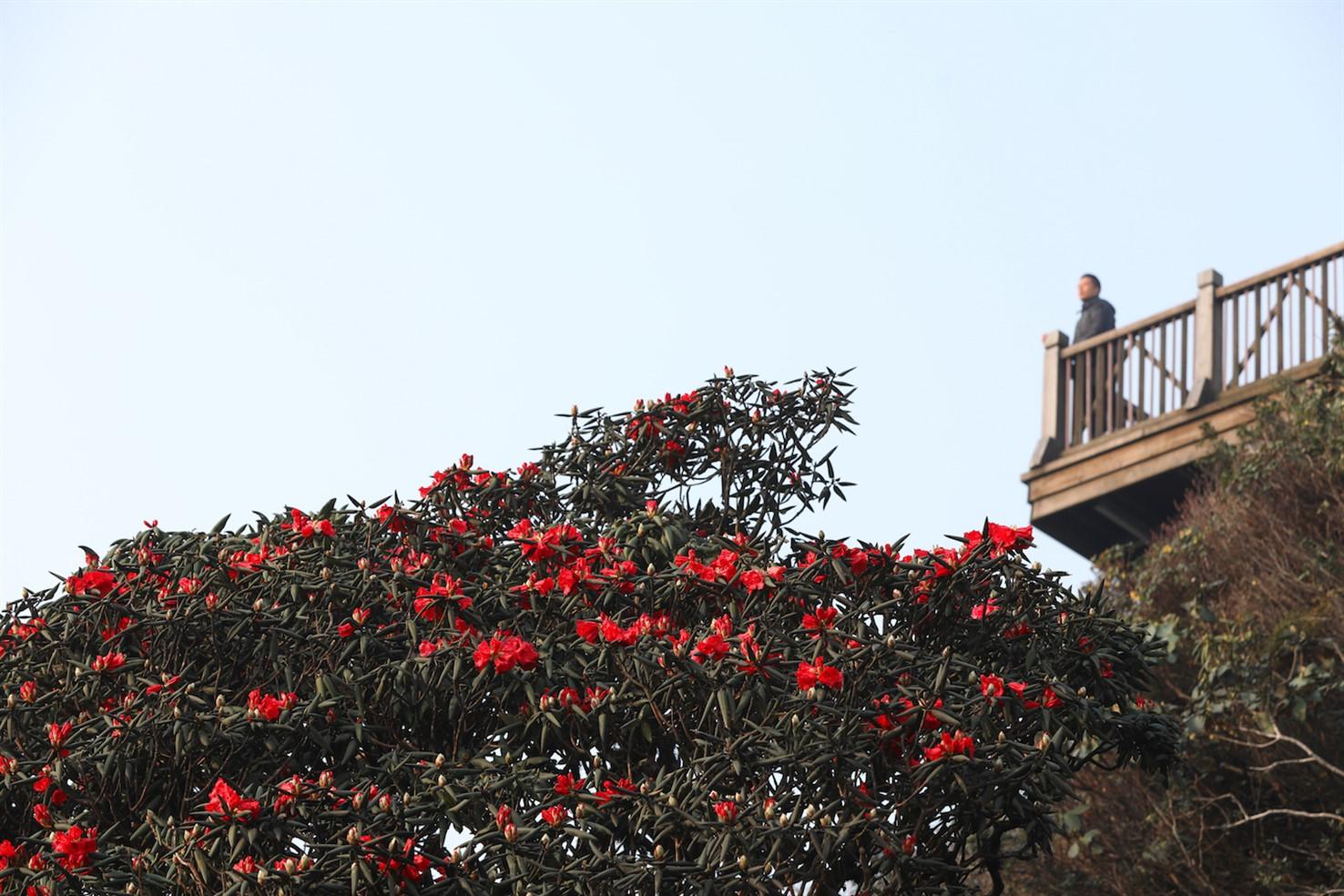 Khi tháng 4 về, những bông loa kèn trắng ngần ngợp đầy các con phố Hà Nội, cũng là lúc từng vạt rừng Hoàng Liên, Sa Pa rực lên sắc đỏ của loài hoa đỗ quyên quý hiếm.