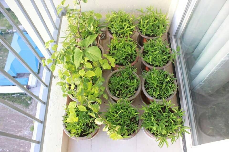Giờ, tôi lại đem đam mê trồng rau đó về nhà mình ở ngoài ban công