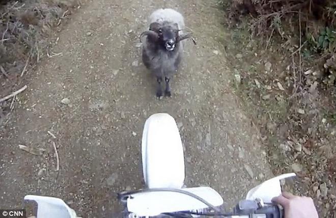 Xe máy đối đầu cừu non trên đường làng (Ảnh minh họa)