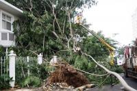 TP.HCM: Mùa mưa cận kề, cư dân Phú Mỹ Hưng nơm nớp nỗi lo sống dưới hàng cây