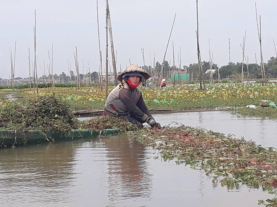 Rau nhút được dân Cồn Phú Mỹ trồng nhiều