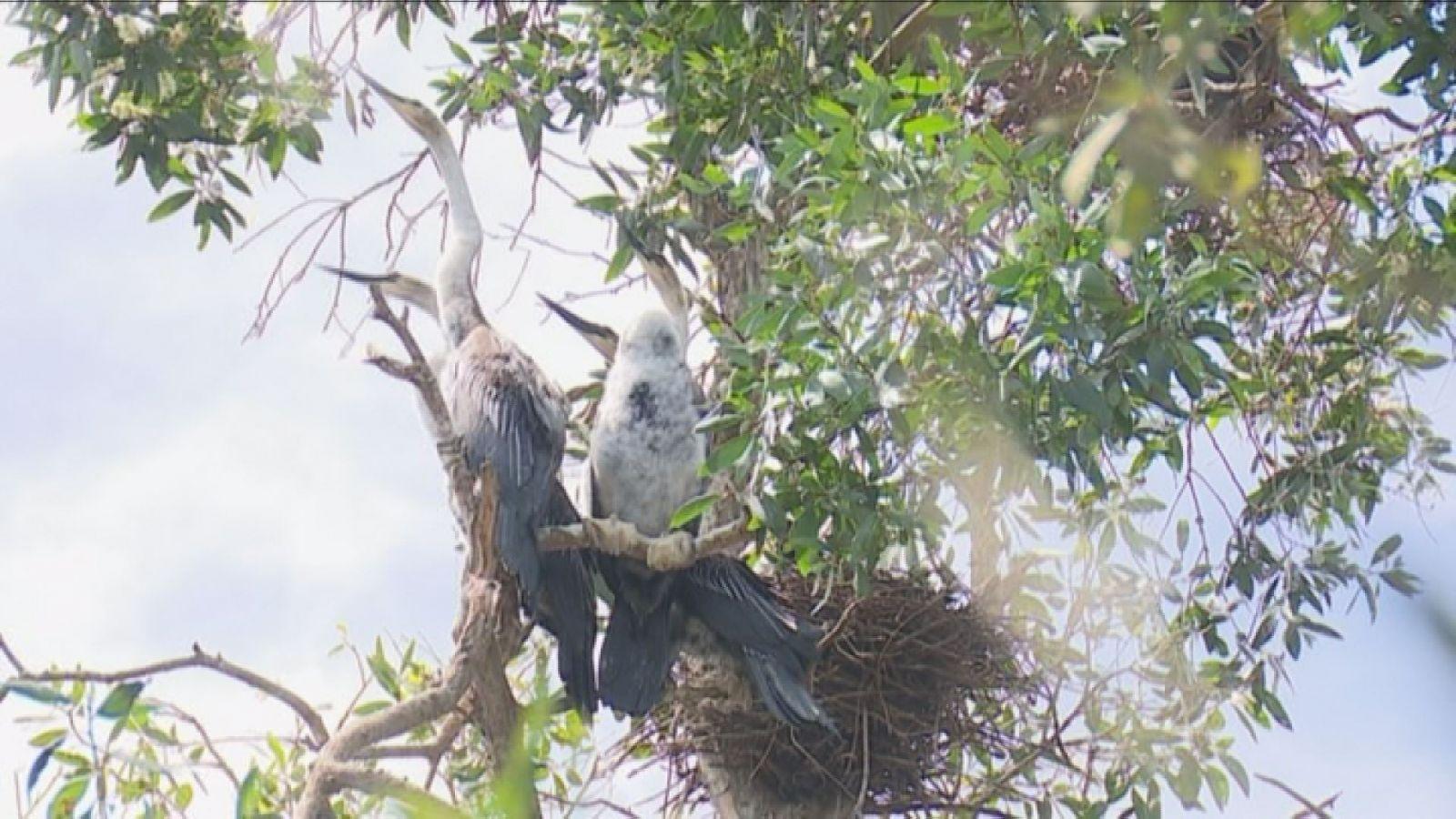 Chim làm tổ trên ngọn tràm ở Vườn Quốc gia Tràm Chim