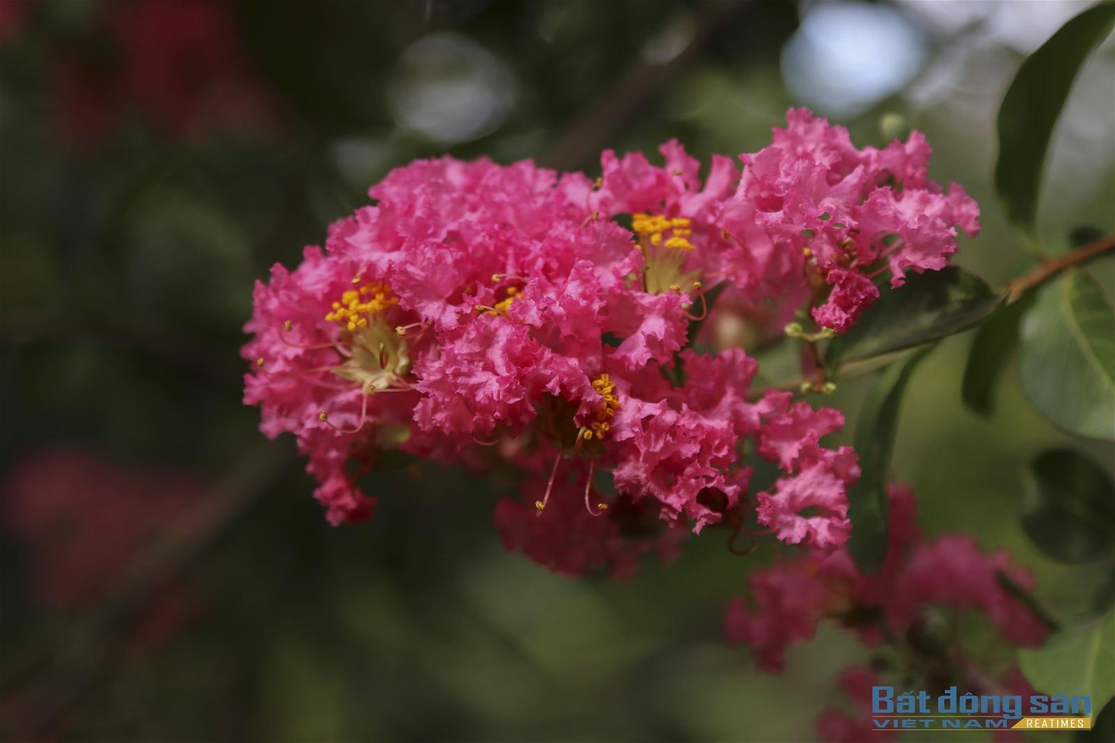 Thả hồn vào con đường hoa Tường Vy đẹp như mơ ở Hà Nội - 6