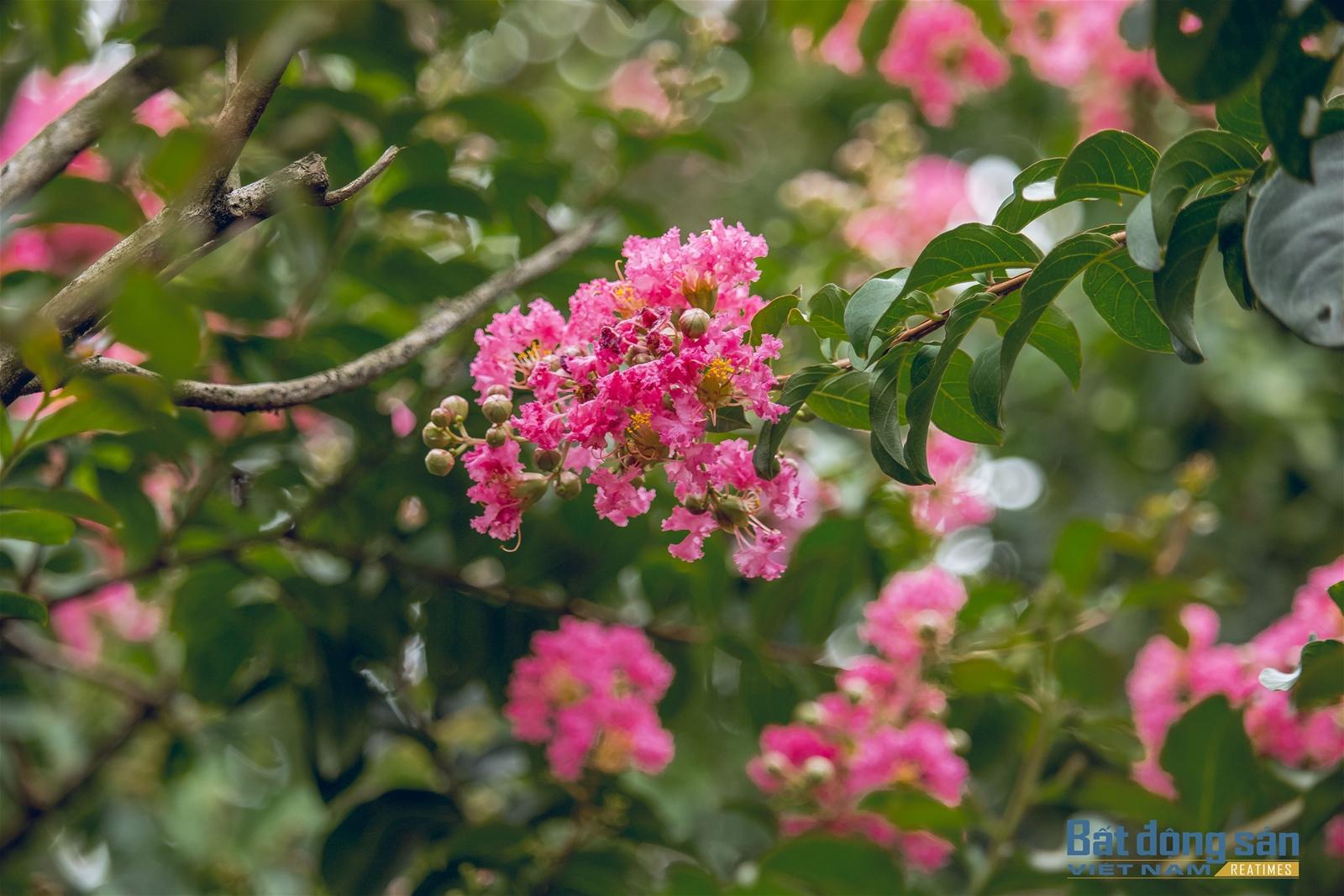 Thả hồn vào con đường hoa Tường Vy đẹp như mơ ở Hà Nội - 2