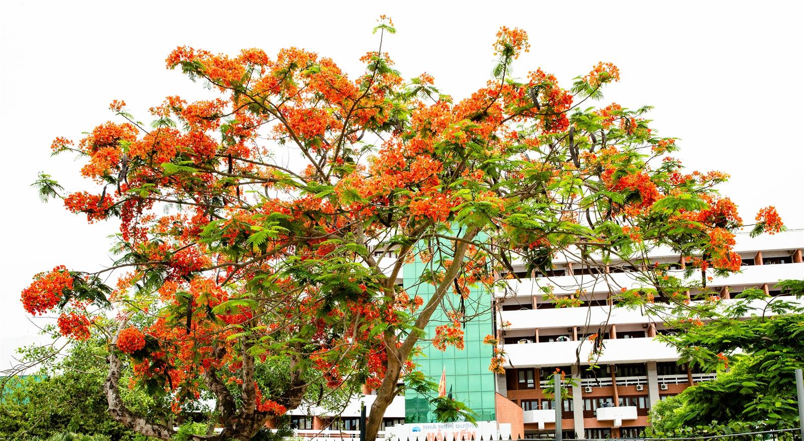 Hải Phòng – Rợp trời hoa phượng đỏ… - 8