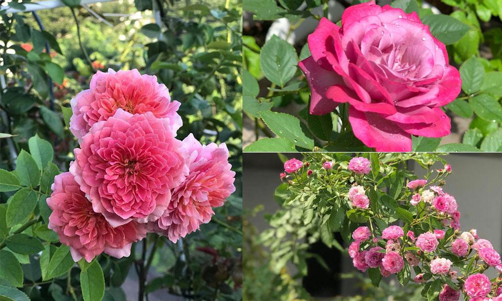 An yên trong vườn hồng nơi phố thị Sài Gòn