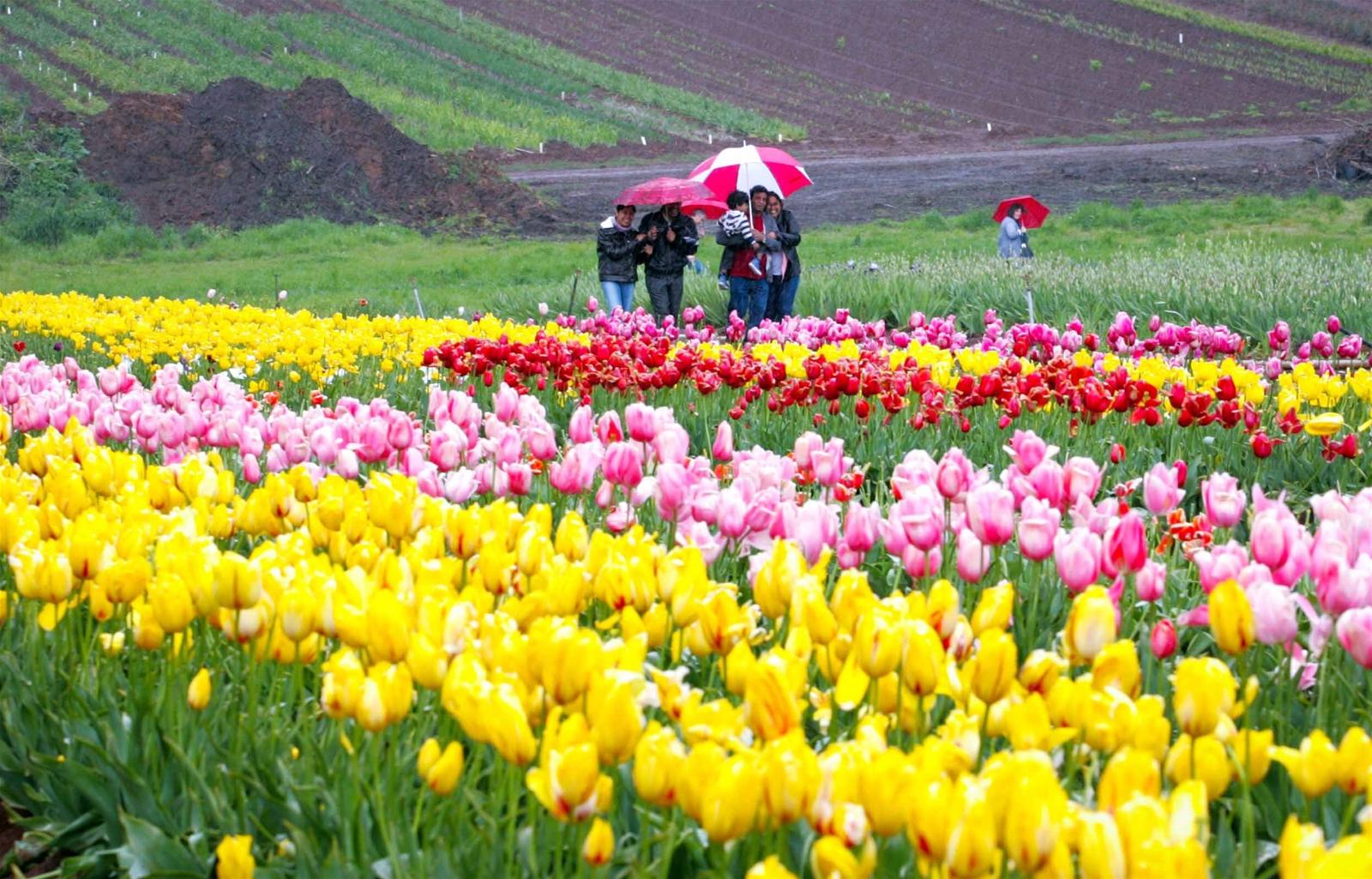 Hội hoa Tulip xứ Kangaroo