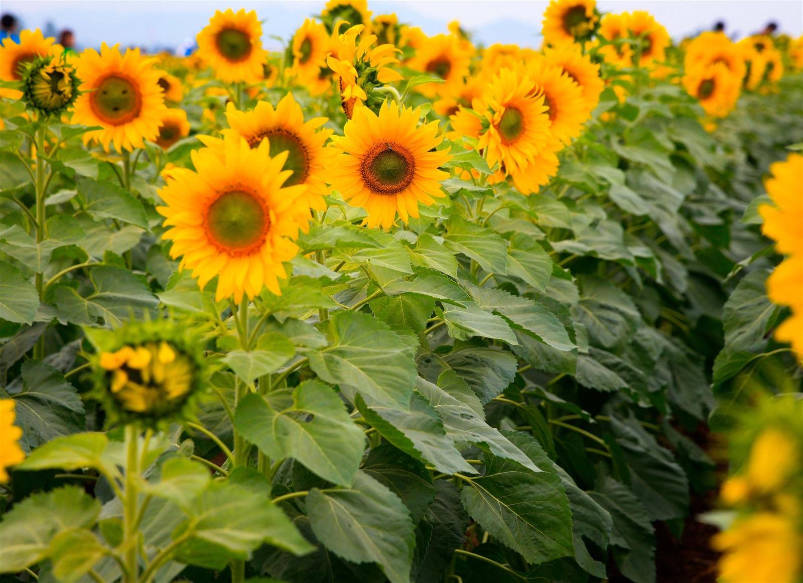 """Ngày cuối năm, xứ Nghệ rực vàng hoa """"mặt trời"""""""