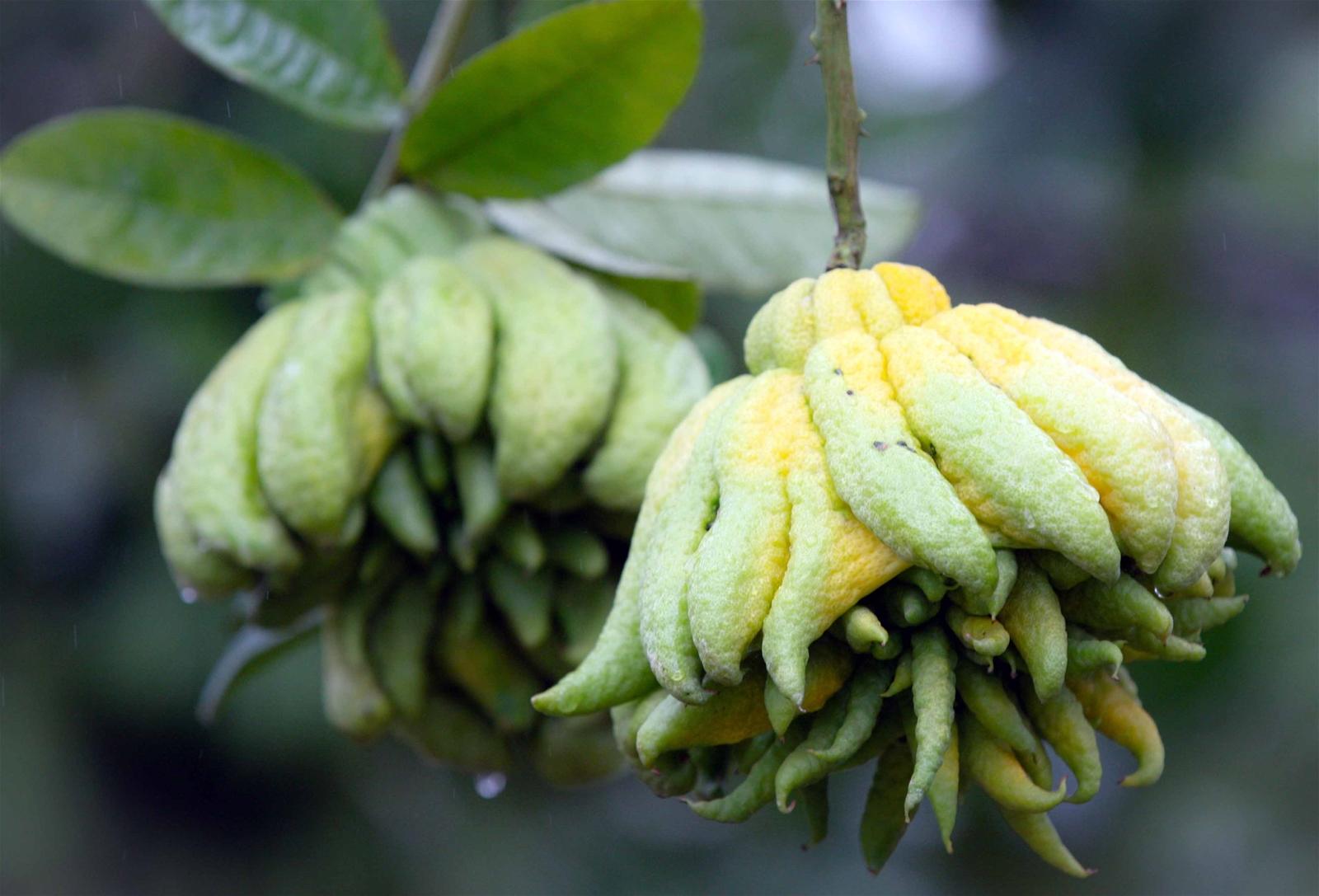 """Nồng thơm những vườn quả hình """"bàn tay Phật"""""""