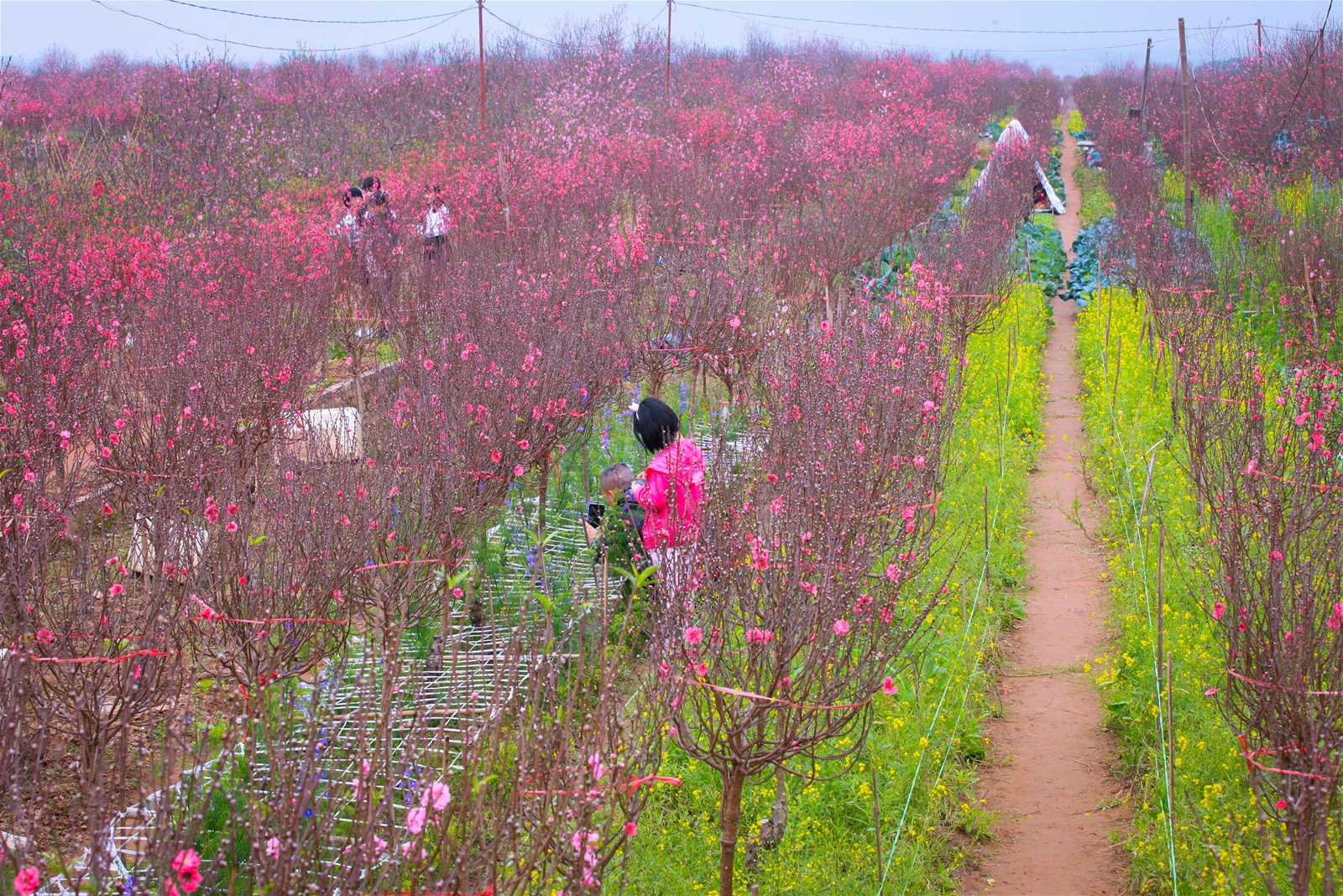 Ngày cận Tết, ghé Nhật Tân ngắm hoa đào khoe sắc thắm